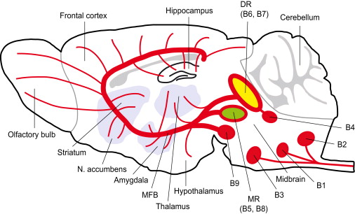 Schematic drawing depicting the serotonergic pathways in the brain
