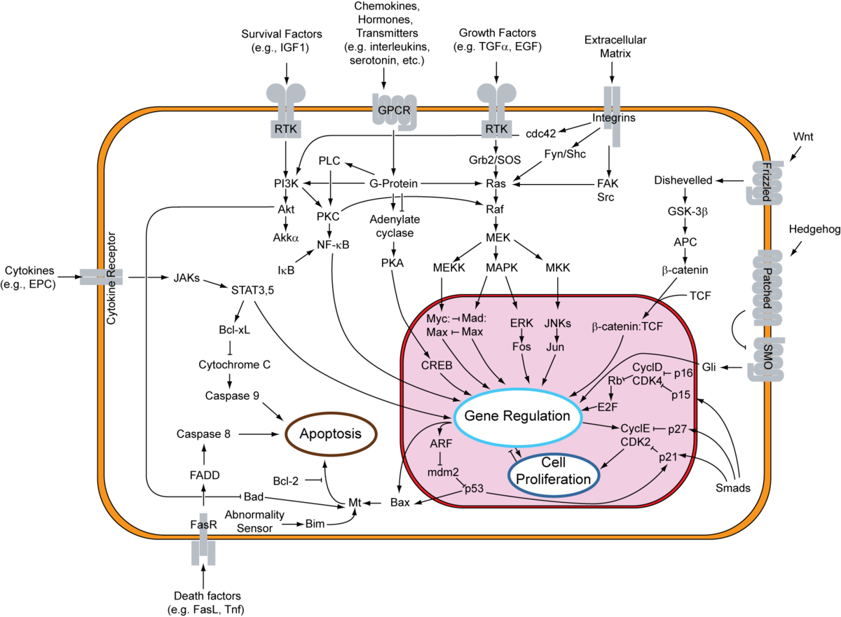 Apoptotic pathways.