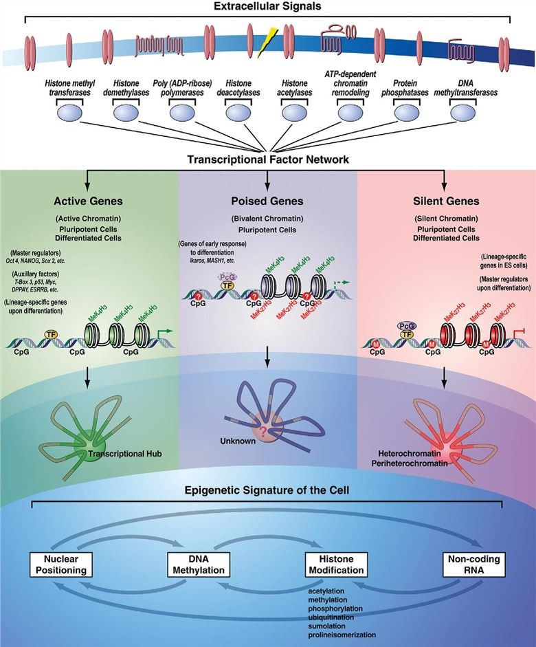 Epigenetic response to extrinsic signals occurs through the transcriptional factors network.
