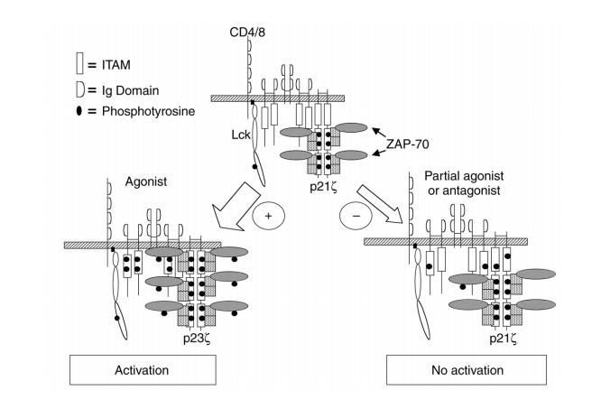 ITIM/ITAM Immunoreceptors and Related Molecules