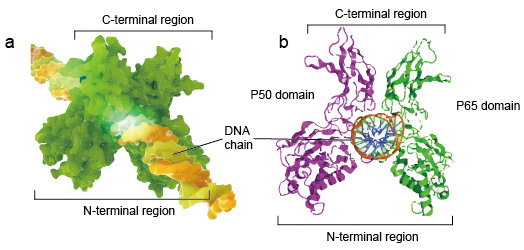 The structure of NF-kB protein dimer binding with DNA chain