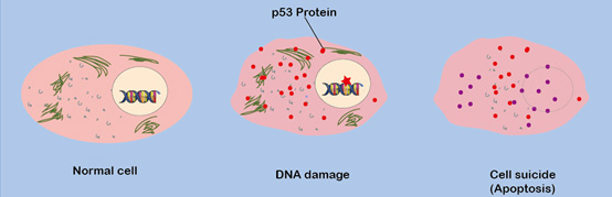 The tumor suppressor protein triggers cell suicide