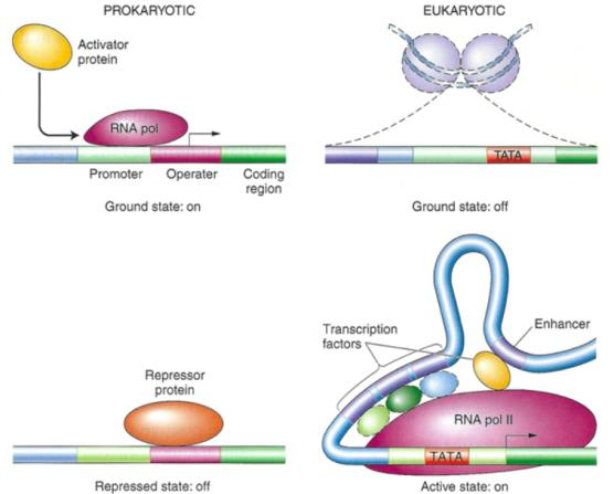 Translational Regulation