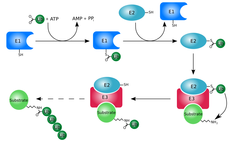 Ubiquitin/Proteasome Pathway Antibodies