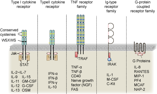 five different types of cytokine receptors