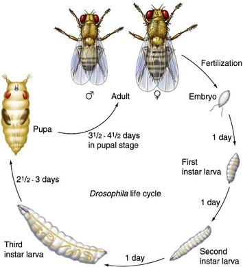 Life cycle of drosophila