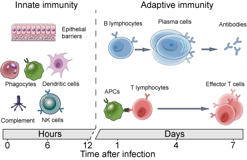 Innate and adaptive immunity time line