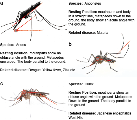 Three typical mosquitos that transmit disease
