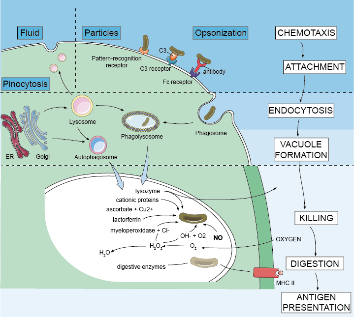 Phagocytosis and intracellular destruction of microbes