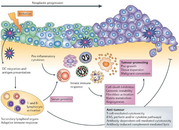 A model of innate and adaptive immunity to cancer cells