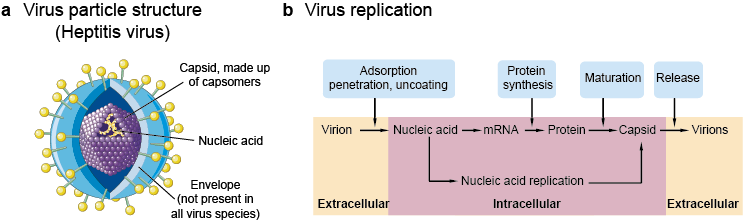 Viral structure (a) and replication (b)