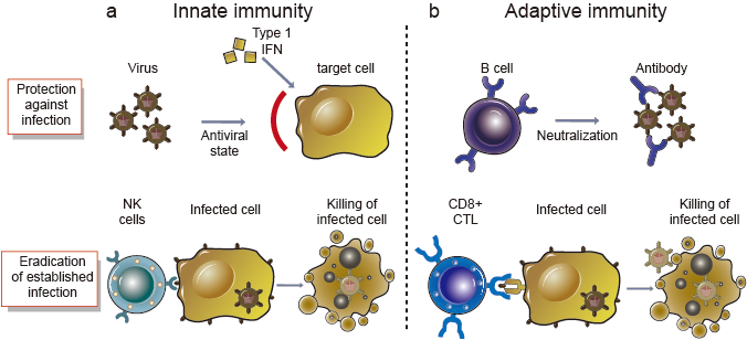 Innate and adaptive immune responses against viruses