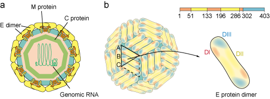 The structure of zika viral particle